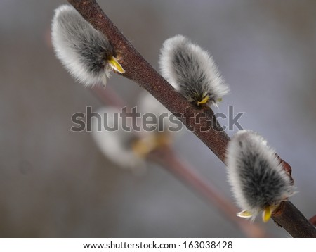 Pussy Willow Catkins - stock photo