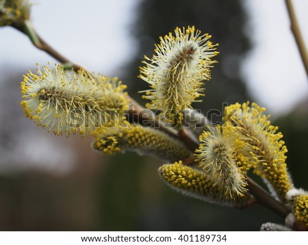 pussy willow flower on tree background - stock photo