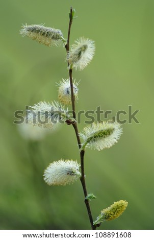 pussy-willow [sallow] branch - stock photo