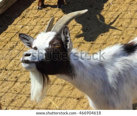 Cute goats smiling