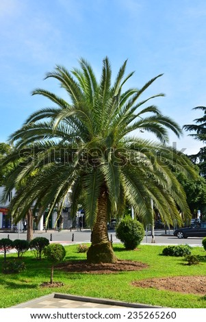 Pygmy date palm  - stock photo