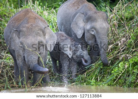 Pygmy elephants on the Kinabatangan River, Sabah. - stock photo