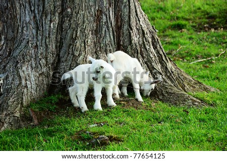Pygmy goat kids by Sugar Maple tree trunk, family farm, Webster County, West Virginia, USA