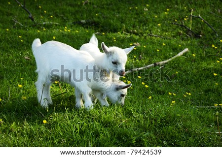 Pygmy goat twins, family farm, Webster County, West Virginia, USA