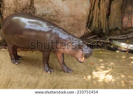 pygmy hippo - stock photo