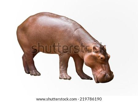 Pygmy hippo in The zoo. - stock photo