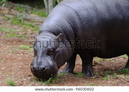 Pygmy hippo standing on grass