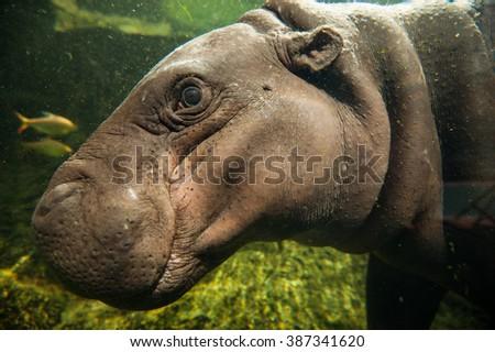 pygmy hippopotamus in water. - stock photo