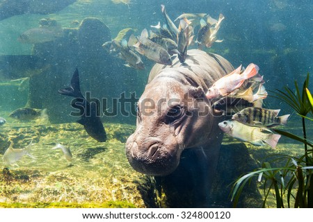 Pygmy hippos underwater - stock photo