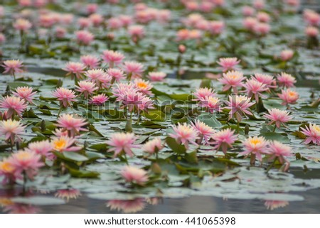 Pygmy Waterlily  - stock photo