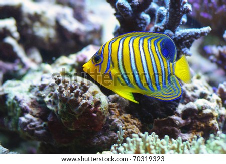 Pygoplites diacanthus Regal angelfish