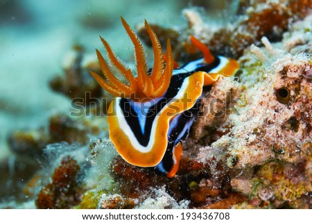 Pyjama chromodorid (Chromodoris quadricolor) in the Red Sea, Egypt. - stock photo