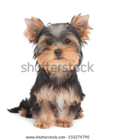 Pyppy of the Yorkshire Terrier - stock photo