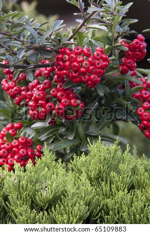 Pyracanthra shrub with red berries - stock photo