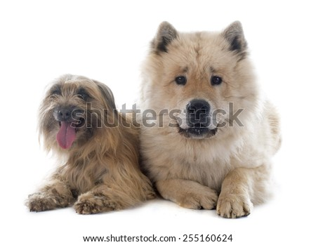 Pyrenean Shepherd and eurasier in front of white background - stock photo