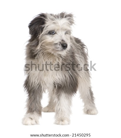 Pyrenean Shepherd (18 weeks) in front of a white background