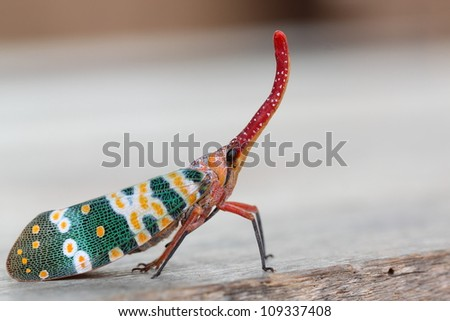 Pyrops candelaria or lantern Fly,sometime we call trunk cicada or trunk butterfly - stock photo