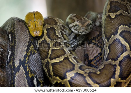 Python and boa coiled on a tree at the zoo. - stock photo