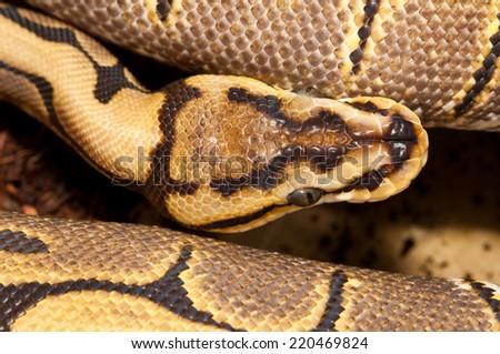 python close-up - stock photo