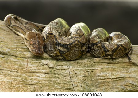 Python curled up sleeping on a tree - stock photo