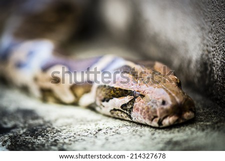 Python, is a genus of nonvenomous pythons found in Africa and Asia. Python Reticulatus, is among the longest snake species and extant reptiles in the world. - stock photo