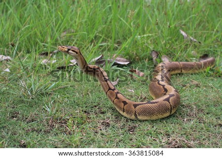 python looking for food at the open field - stock photo