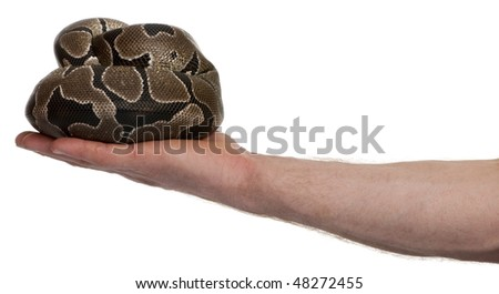 Python regius snake in palm of hand against white background, studio shot - stock photo