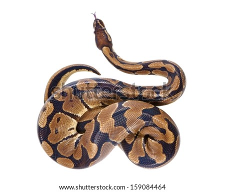 Python regius with tongue sticking out, on white background, it is also known as royal python or ball python - stock photo