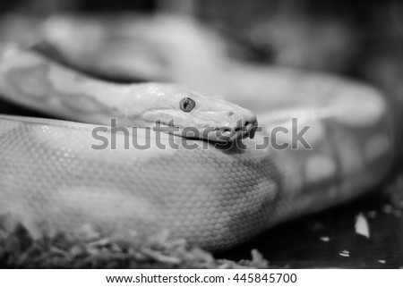 Python snake. - stock photo