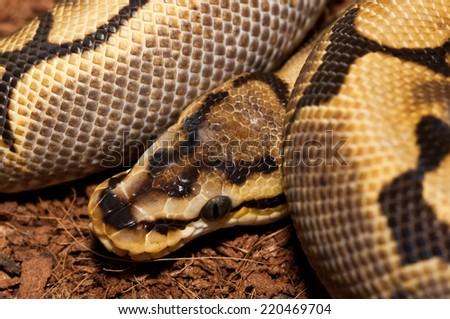 python snake close up - stock photo