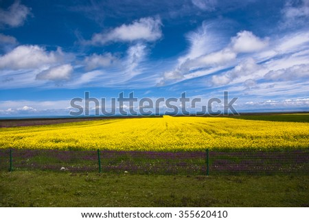 Qinghai Lake rape field