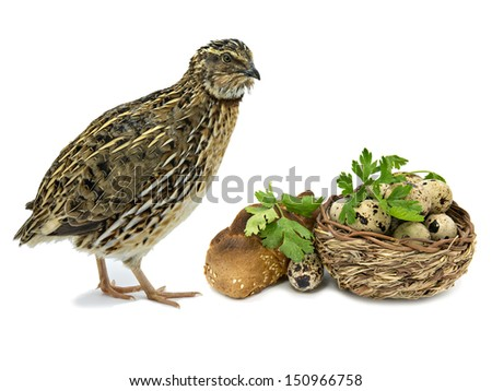 Quail and basket with eggs isolated on white background - stock photo