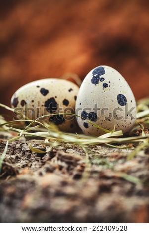 quail egg  - stock photo