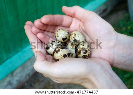 quail eggs in the open palm against the background of the old green boards in the village