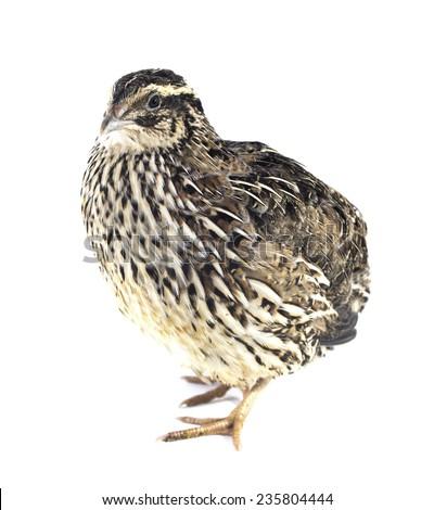 quail isolated on white background - stock photo