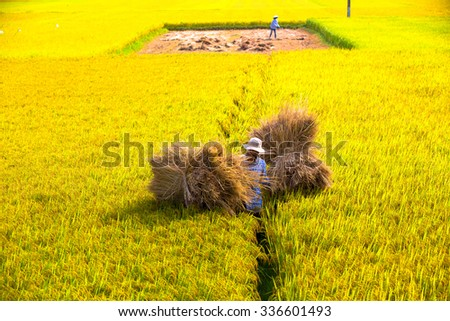QUANG NGAI, VIETNAM. APRIL 23, 2014. A view of rice field in harvest season.