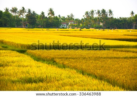 QUANG NGAI-VIETNAM. APRIL 22, 2014. A view of rice field in the afternoon.