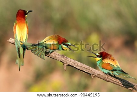 Quarrel. Three european bee-eaters perched on a twig. Two in quarrel. - stock photo