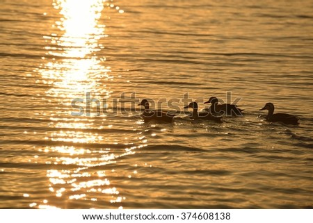 Quartet of ducks swimming in the river at sunset.