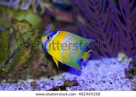 Queen Angelfish, Holacanthus ciliaris, from the Caribbean and Western Atlantic Ocean. This is the juvenile form, at about 3 inches in body length