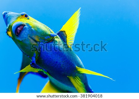 Queen Angelfish  holacanthus ciliaris in blue water