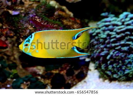 Pet Angelfish | Queen Angelfish Holacanthus Ciliaris Marine Fish Stock Photo