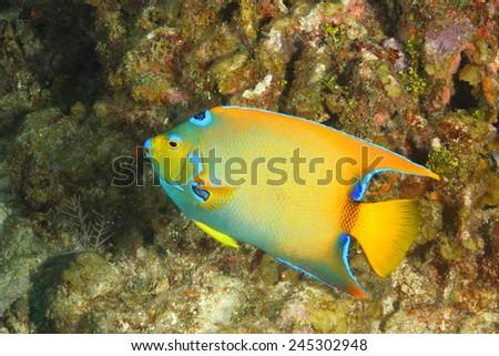 Queen Angelfish (Holacanthus ciliaris) on a Coral Reef - Roatan, Honduras - stock photo