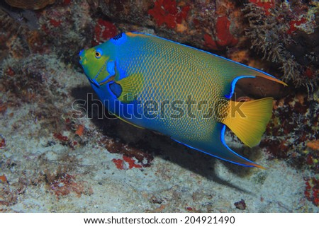 Queen angelfish (Holacanthus ciliaris) underwater in the coral reef of the caribbean sea  - stock photo
