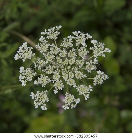 Queen Anne's Lace/A blossom of the wild flower Queen Anne's Lace (Daucus carota).