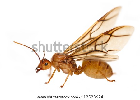 Queen ant - stock photo