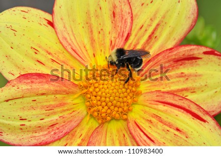 Queen bee gathering honey from dahlia flower - stock photo