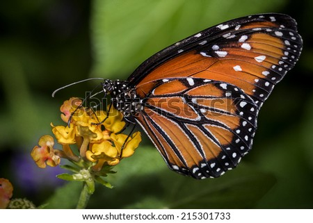 Queen Butterfly on Flower