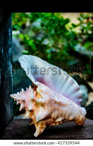 Queen Conch Shell on Wood Shelf - stock photo