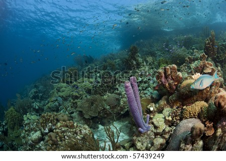 Queen Parrotfish (Scarus vetula) and Stove-pipe Sponge (Aplysina archeri) and corals on a beautiful tropical reef in Bonaire, Netherlands Antilles.